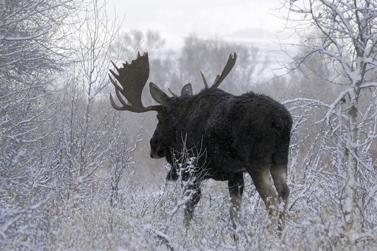 Ein Elch in einer winterlichen Landschaft, von hinten fotografiert, entfernt sich vom Standpunkt des Fotografen.
