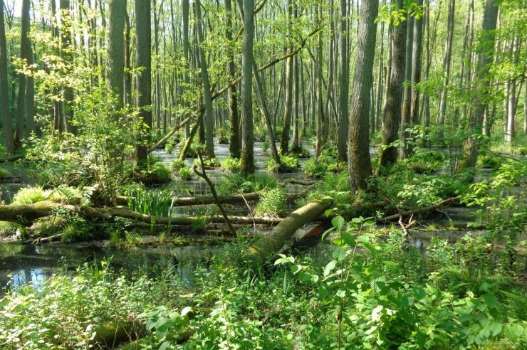 Ein grüner Wald auf wässrigem Grund