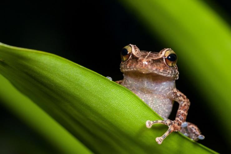 Ein kleiner Frosch sitzt auf einem Blatt und schaut keck in die Kamera.